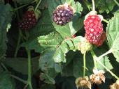 Berries2 17907