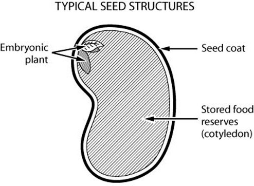 Typical seed structure