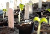 Don't forget to label your seedlings, for proper space planning when transplanting. (Photo credit: Morguefiles.com)