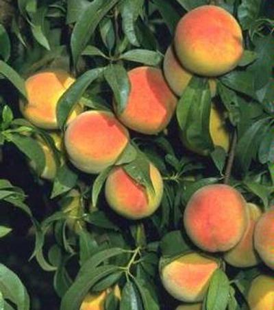 Peach trees need loving care.
