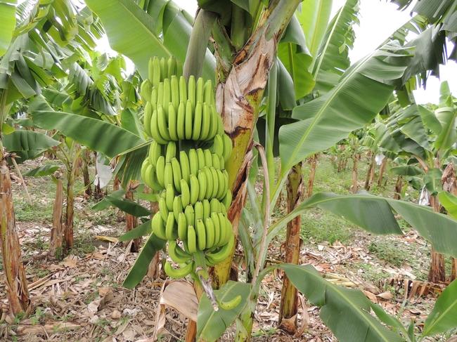 24. Banalino bananas
