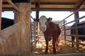 A steer at UC Davis that is part of the Mootral trial, which aims to reduce greenhouse gas emissions from livestock.