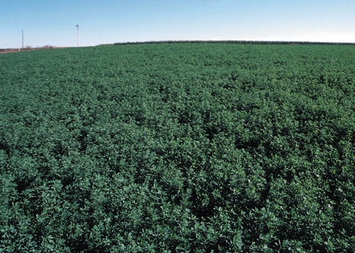 Alfalfa stretches to the horizon in the Eastern U.S. (USDA photo)
