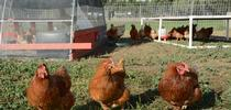 Egg-laying chickens pose at the UC Davis Pastured Poultry Farm. Photo by Trina Wood for Food Blog Blog