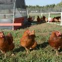 Egg-laying chickens pose at the UC Davis Pastured Poultry Farm. Photo by Trina Wood