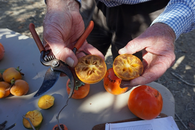 A member of the Rare Fruit Growers Association, Dewey Savage, showed a fuyu persimmon with browned flesh. The browning is caused by alcohol released by the seeds inside the fruit. The alcohol neutralizes tannins that make the persimmon astringent. The natural chemical reaction results in sweeter fruit.
