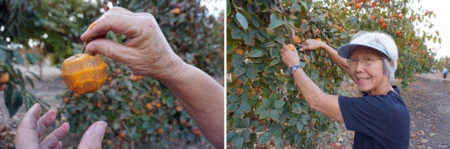 Jean Suan, right, plans to dry her persimmons using the traditional Japanese hoshigaki method, in which the whole fruit is peeled, as shown on the left, then hung on a string outdoors. For several weeks, the fruit is massaged every few days, until the sugars form a frost-like dust on the surface. The result is fruit with date-like texture and strong persimmon flavor.