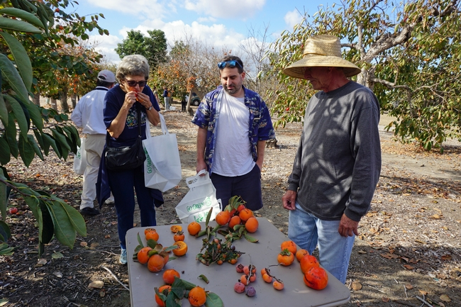 A display of fuyu-type and hachiya-type persimmons helped participants distinguish which fruits are ready to eat.