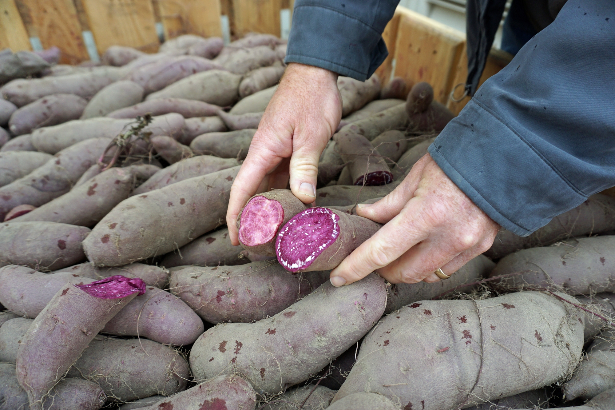 Purple Flesh Sweet Potatoes Have Beta Carotene Like The More Common Orange Varieties Plus Anthocyanins Stoddard Said It S Eating A Handful Of