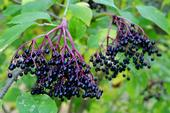 Elderberries are a rich source of vitamin C, and also contain vitamin B6 and iron.