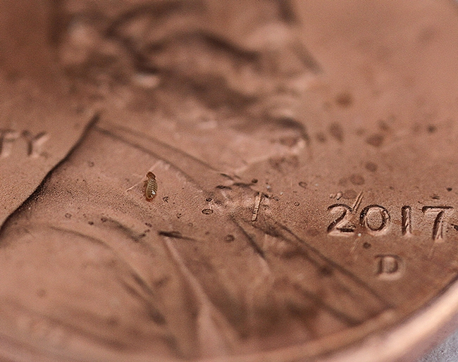 Find the booklouse!  It's on this penny, magnified with the powerful Canon MPE-65mm lens. (Photo by Kathy Keatley Garvey)