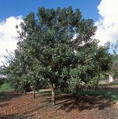 A macadamia nut tree on a Hawaii plantation. (Photo: USDA)