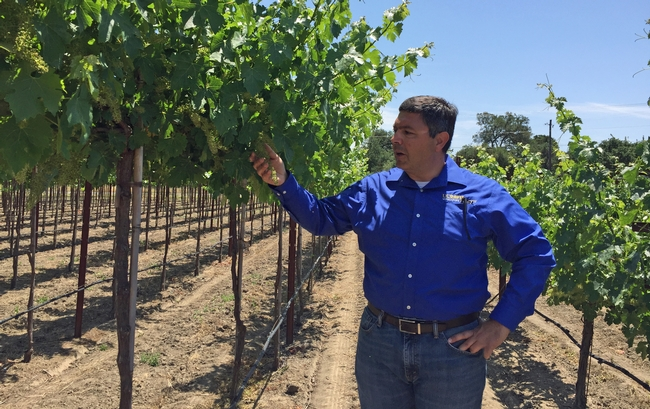 "Labor costs about 7 cents per vine for managing the ""Touchless"" vineyard, compared to $1 in the conventional vineyard, says Kaan Kurtural, UC Cooperative Extension specialist.."