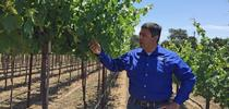 "Labor costs about 7 cents per vine for managing the ""touchless"" vineyard, compared to $1 in the conventional vineyard, says Kaan Kurtural, UC Cooperative Extension specialist. for Food Blog Blog"