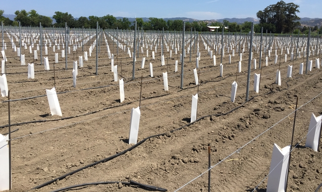"Cartons protect young vines, but ""herbicide use on vines less than 3 years old is a risky endeavor,"" John Roncoroni cautions."