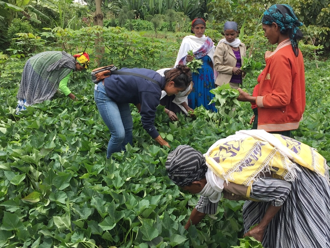Lauren and Ethiopian women farmers bent over in a field of sweet potato plants, gathering leaves by hand.