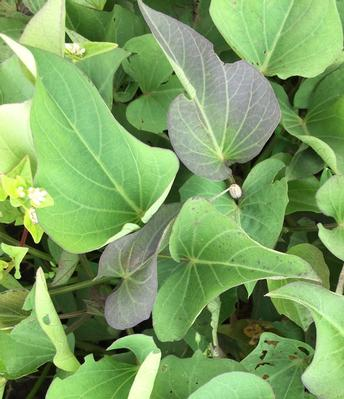 close-up on sweetpotato leaves, stems and plant