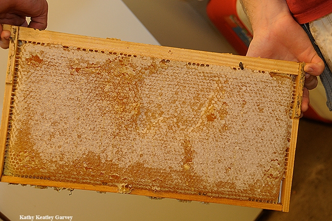 A beekeeper at UC Davis holds a frame of honey. (Photo by  Kathy Keatley Garvey)