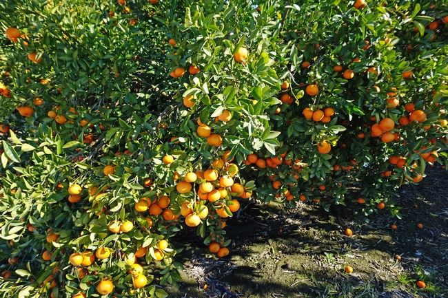 Most citrus fruit is ready for harvest in the winter. It can be preserved a variety of ways to enjoy it year round.