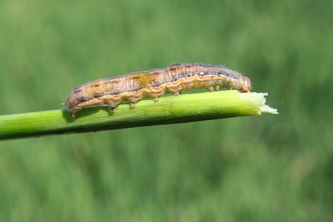 Armyworm monitoring, combined with the registration of insecticides that are effective at controlling armyworms, has resulted in better control of the pests and less yield losses.