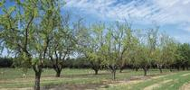 Almond orchard for Food Blog Blog