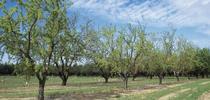 Almond orchard for Food Blog Blog