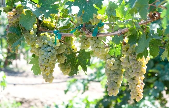 Caminante blanc has characteristics of sauvignon blanc and chardonnay.