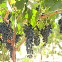 Camminare noir has characteristics of cabernet sauvignon and petite sirah.