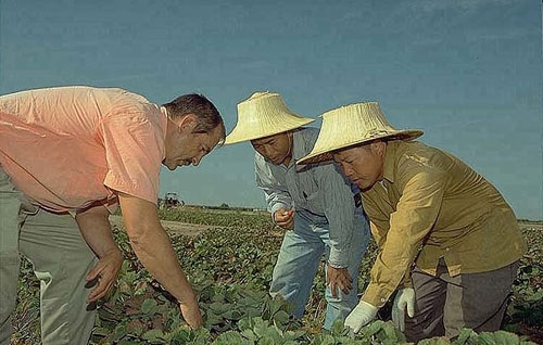 Richard Molinar, left, and his assistant Michael Yang, center, work with a Southeast Asian strawberry grower.