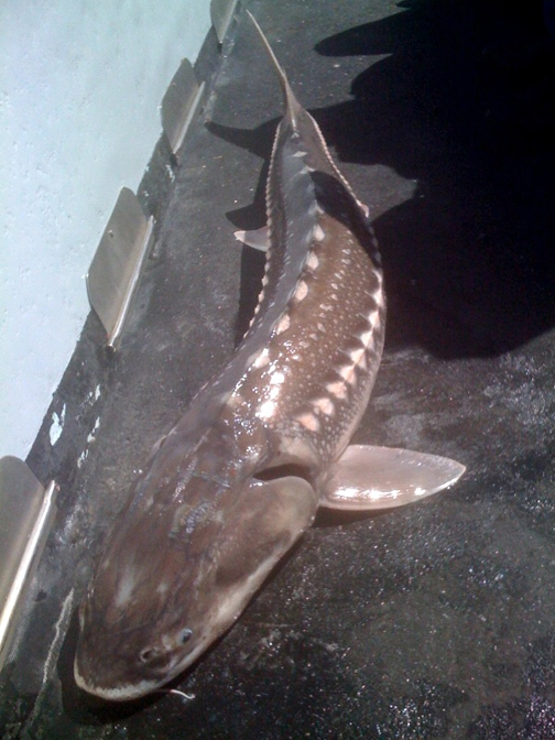 Freshly caught sturgeon on a commercial fishing boat in San Pablo Bay. (Photo by James Garvey)