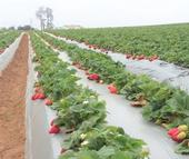 A field of red strawberries planted in plastic mulch.