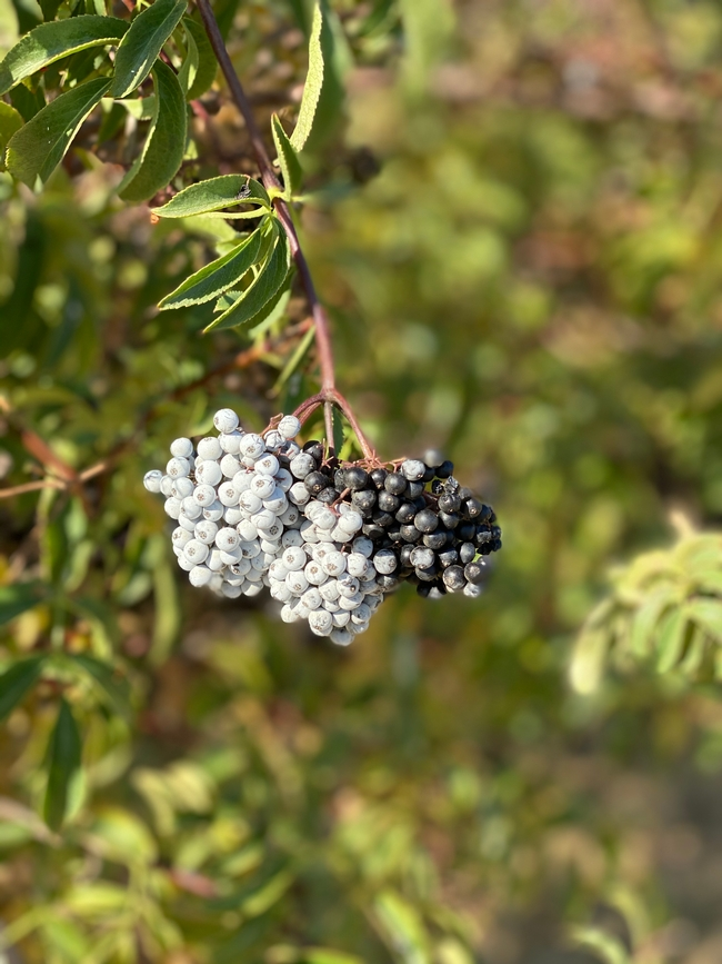 A cluster of elderberries ready for harvest