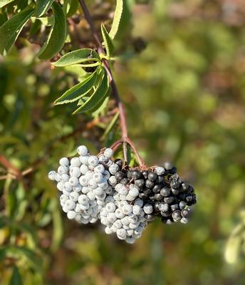 Growing elderberries in hedgerows adds to farm income, benefits environment