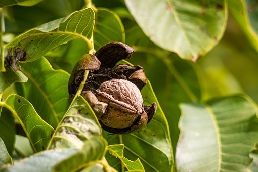 Walnut, ready to harvest