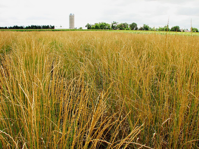 Field of Kernza perennial grass