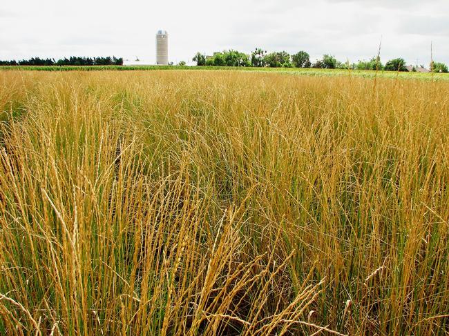Field of Kernza perennial grass