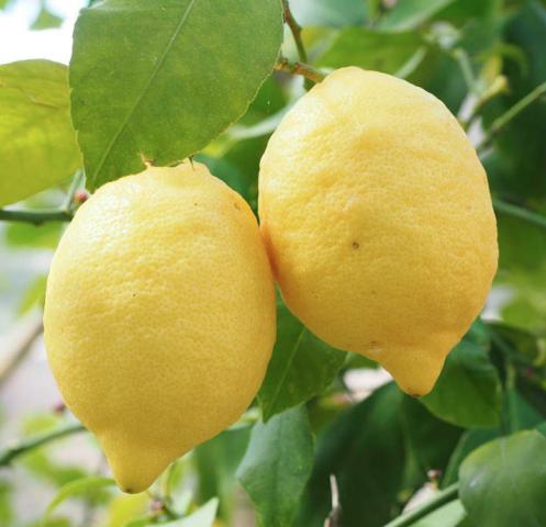 Eureka lemons