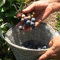 Handpicking blueberries