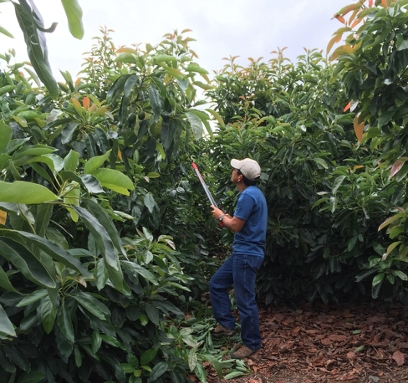A worker prunes weak tree branches to improve sunlight penetration in a high-density avocado orchard.