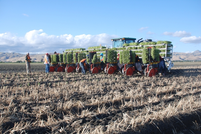 Strip till processing tomato transplanting into cover crop residue in Hollister.