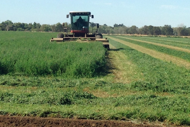 A new UC cost study shows potential profits in growing alfalfa organically for the organic dairy market. Photo by Rachael Long