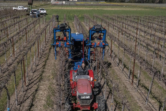 Grape growers can save between 60% to 80% of labor operation costs per acre by using mechanical pruning instead of hand pruning alone. Photo by Hector Amezcua, UC Davis