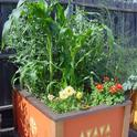 Corn, peas and dahlias in a raised bed garden.