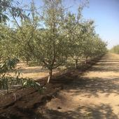 The new Net Zero Initiative project will examine the effects of value-added dairy manure products. Composted dairy manure used as fertilizer shown in an almond orchard. Photo by Sat Darshan Khalsa