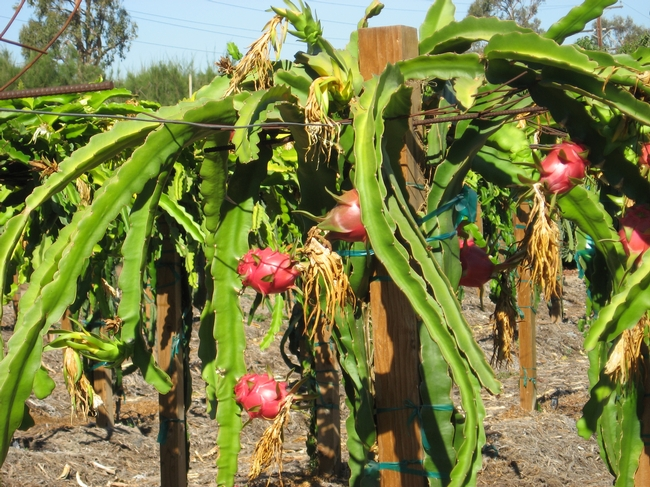 At UC South Coast Research and Extension Center, the dragon fruit plants are currently in an orchard system, though new trellis trials will soon be under way. (Photo by Shermain Hardesty)