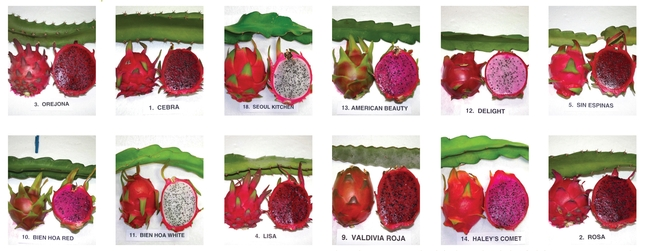 Colors of ripe pitahaya flesh can vary between red, fuschia, pink and white.