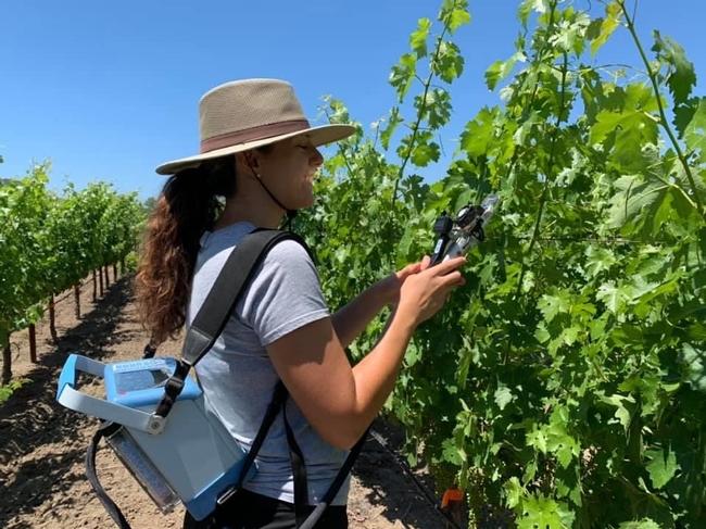 UC Davis graduate student measure photosynthesis on cabernet sauvignon grapevines