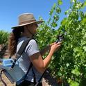 A UC Davis graduate student measures photosynthesis on cabernet sauvignon grapevines. (Photo by Kaan Kurtural/UC Davis)