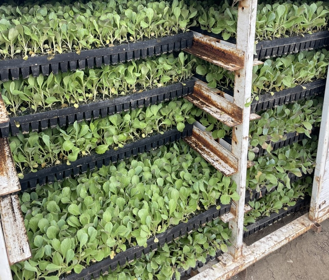 Trays of cabbage seedlings in a cooler.