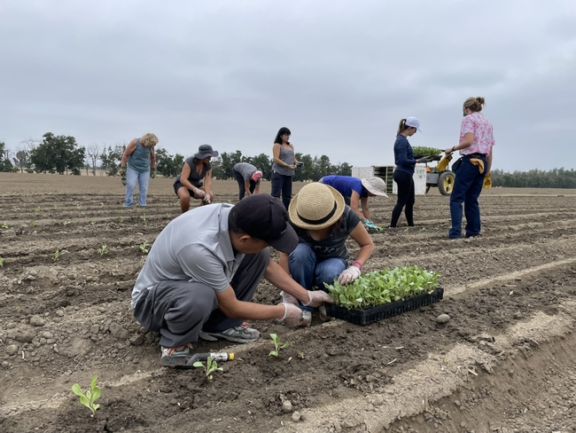 In the foreground, two volunteers pull cabbage transplants from a container. Behind them, seven other volunteers plant seedlings.